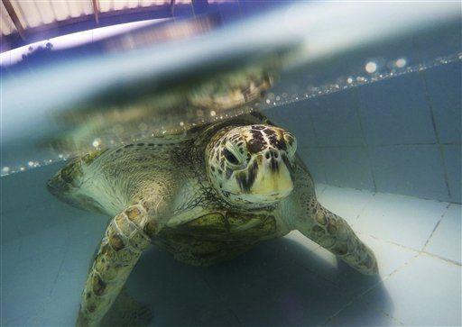 Murió la tortuga que tragó casi mil monedas - Foto de AP