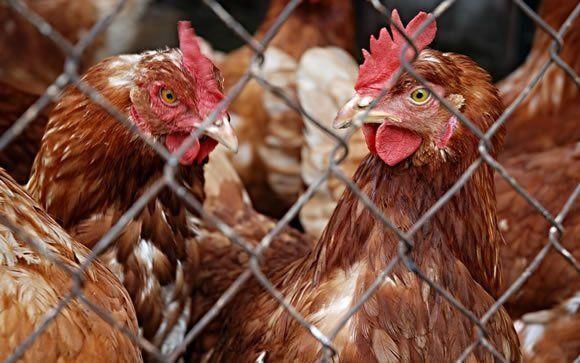 Cifra de muertos en China por gripe aviar llega a 162