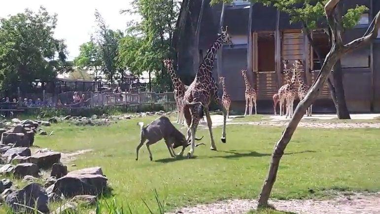 #Video Antílope ataca a jirafa en zoológico de Rotterdam