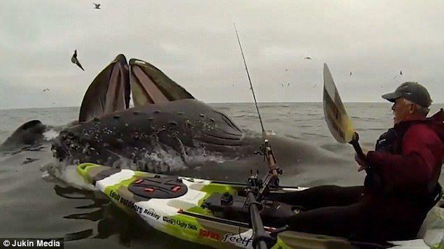 #Video Ballenas sorprenden a kayakista en California