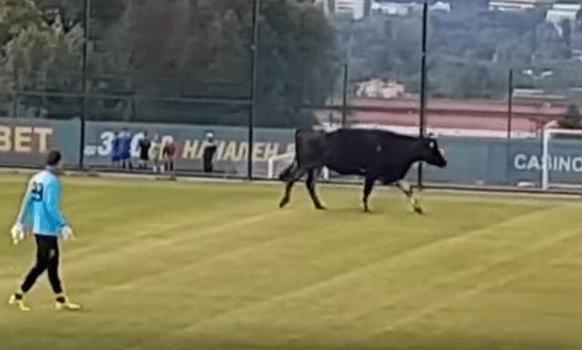 #Video Vaca interrumpe partido de futbol - Captura de pantalla