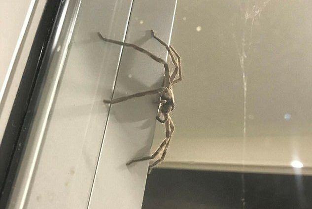 #Video Araña gigante en vivienda de Australia