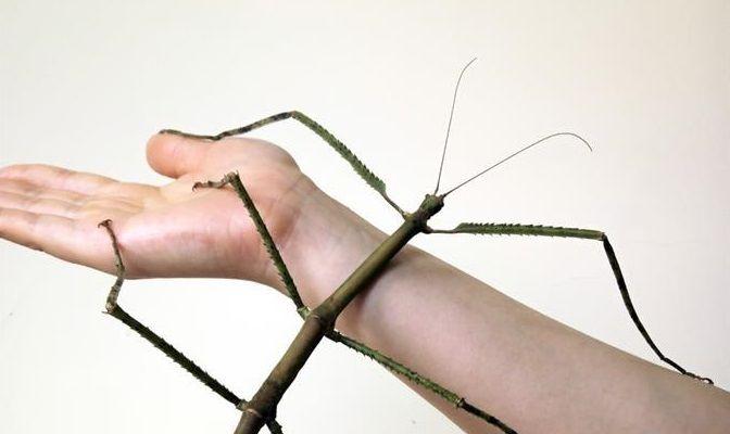 Crian al insecto más grande del mundo en China