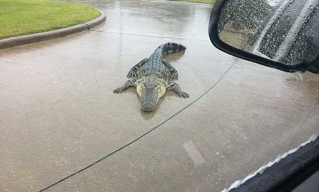Alertan por aparición de caimanes y serpientes tras inundaciones en Texas - Foto de @FBCSO 