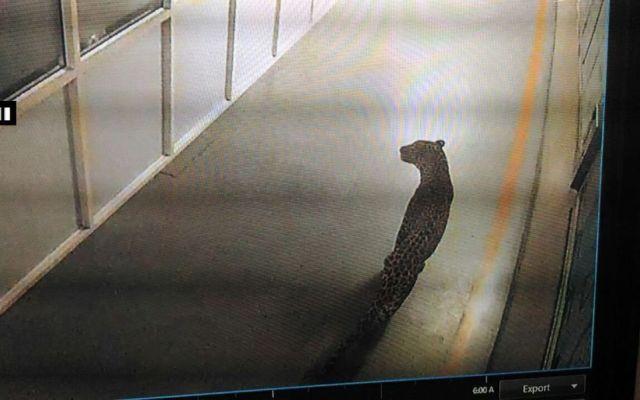 Leopardo fuerza detención de fábrica de autos en India - Foto de @ANI