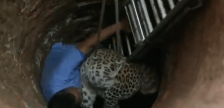 #VIDEO Veterinario salva a leopardo que cayó en pozo