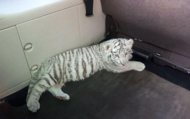 Encuentran a sujeto con cachorro tigre de bengala y es detenido - Foto: @Rivas_Juan.
