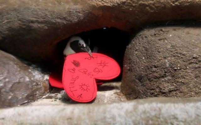 Pingüinos en acuario de San Francisco celebrarán el Día de San Valentín - Foto de Getty