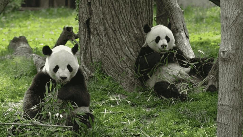 China construirá reserva millonaria para pandas gigantes
