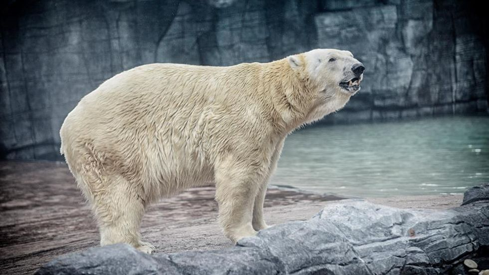 Muere Inuka, el primer oso polar nacido en el trópico - Foto de Zoológico de Singapur