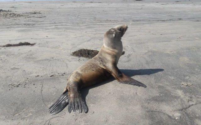 Profepa asiste a lobos marinos varados en Baja California - Foto de @PROFEPA_Mx