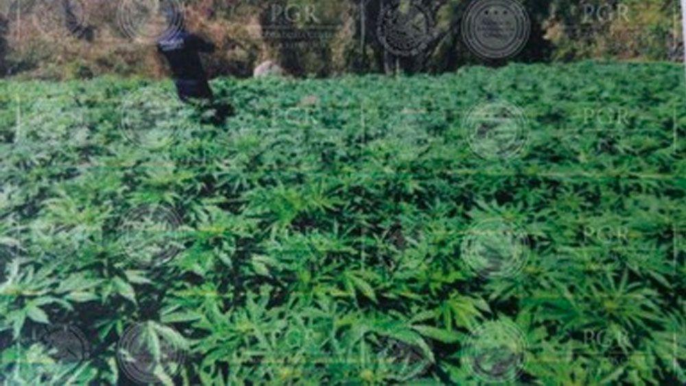 Encuentran más de dos millones de plantas de marihuana y amapola en Jalisco - Foto de PGR