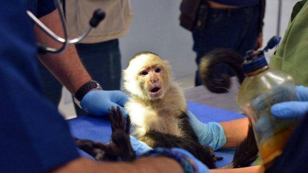Pondrán a mono capuchino de Reforma en cuarentena - Foto: Facebook Azcarm.