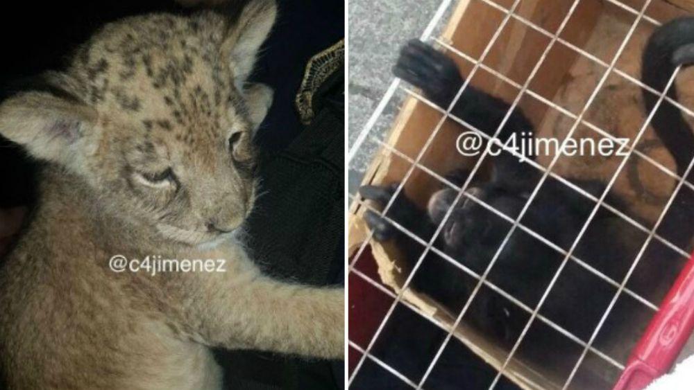 Rescatan mono araña y cachorro de tigre en Tepito