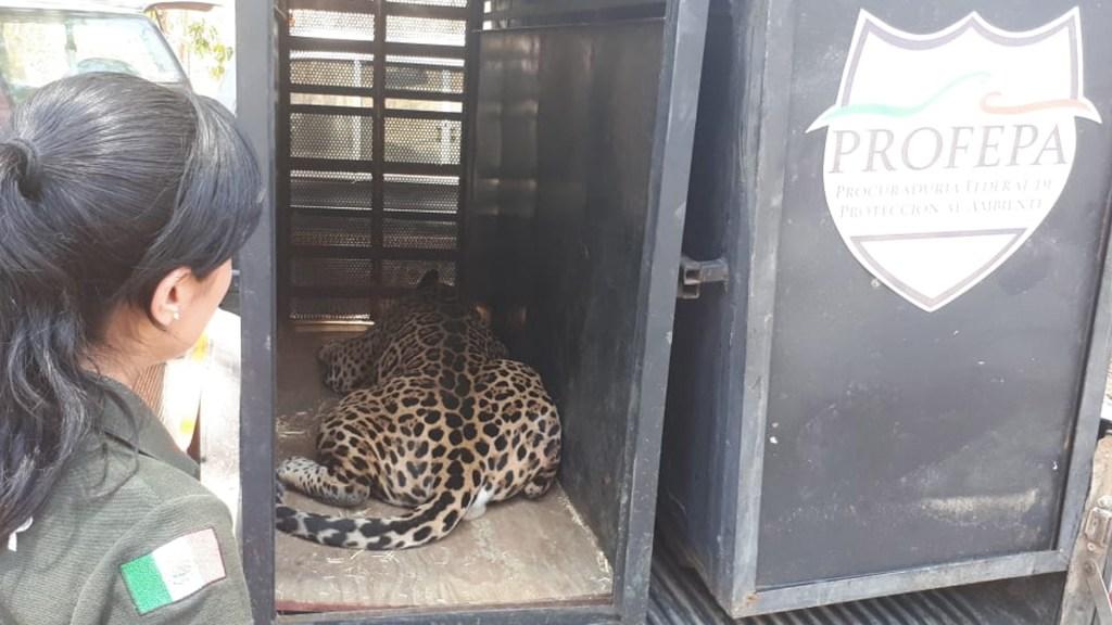 Profepa traslada a dos jaguares a reserva - Foto de Profepa