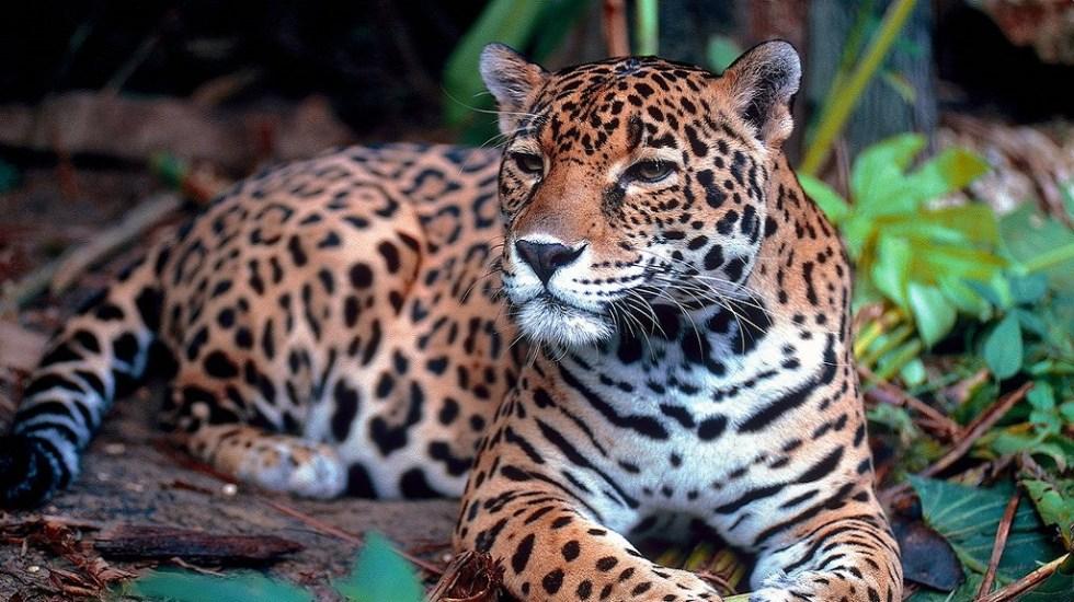 Profepa presentará denuncia penal por muerte de jaguar en Jalisco - Crece 20 por ciento población del jaguar en México