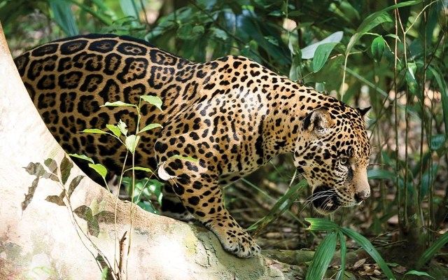 Noviembre mes del jaguar, América unida para su conservación - Foto de WWF-Fundación Telmex Telcel