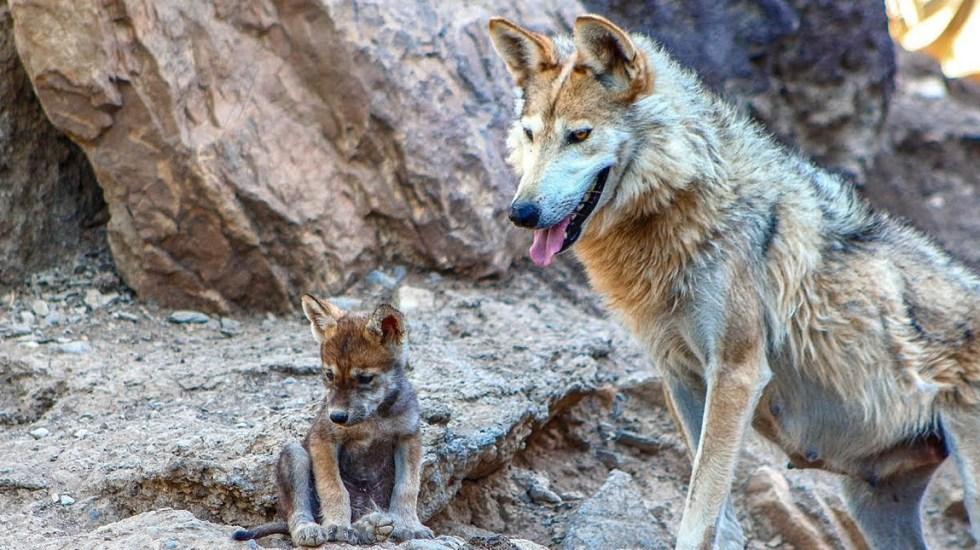 Avanza satisfactoriamente la rehabilitación del lobo mexicano - Foto de UNAM