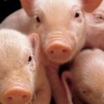 Llega a México primer cargamento de carne de cerdo de Alemania