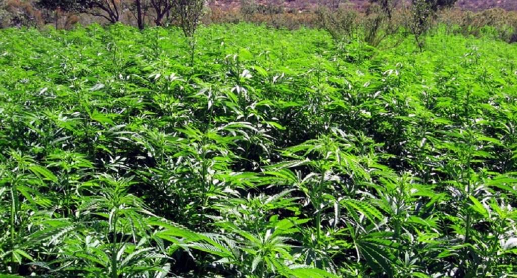 Presentan propuesta para regular uso de la mariguana - Foto de archivo
