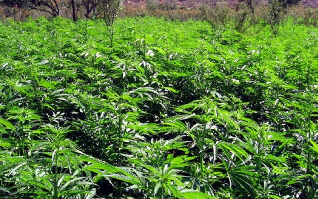 Cofepris recibe 615 solicitudes para cultivar y consumir mariguana - Foto de archivo
