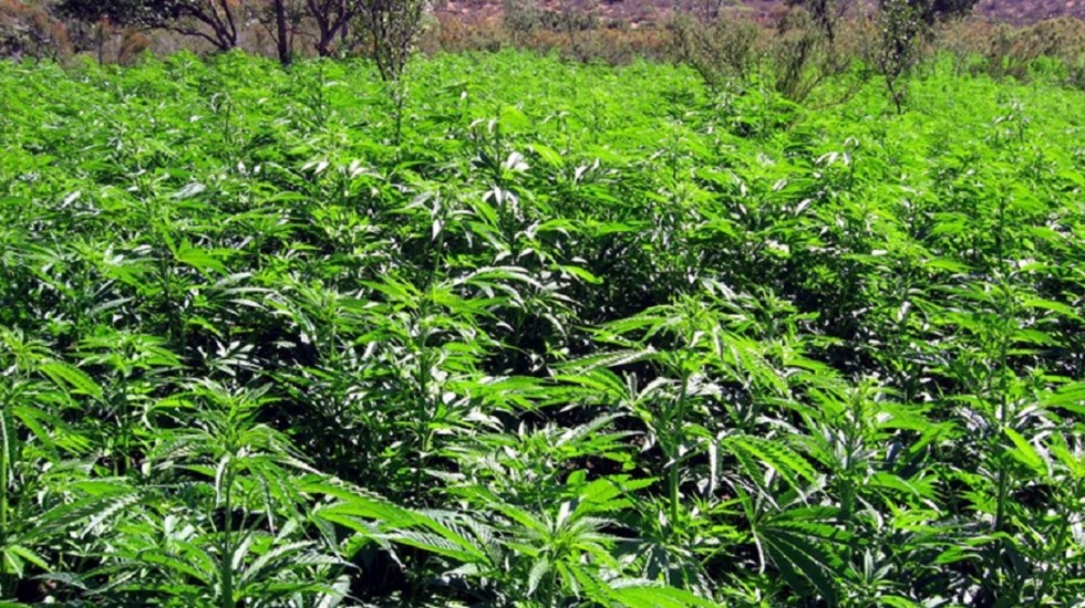 Presentan propuesta para regular uso de la mariguana - Foto de internet
