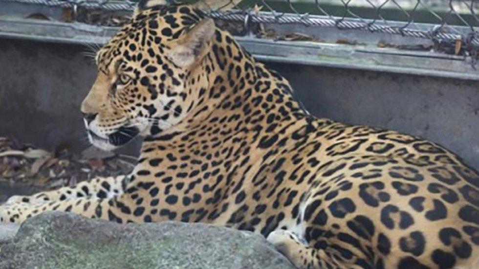 Jaguar escapa de su jaula en Estados Unidos y mata a seis animales