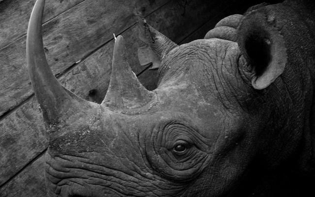 Mueren rinocerontes en peligro de extinción al ser reubicados - Foto de Versatile Adventures