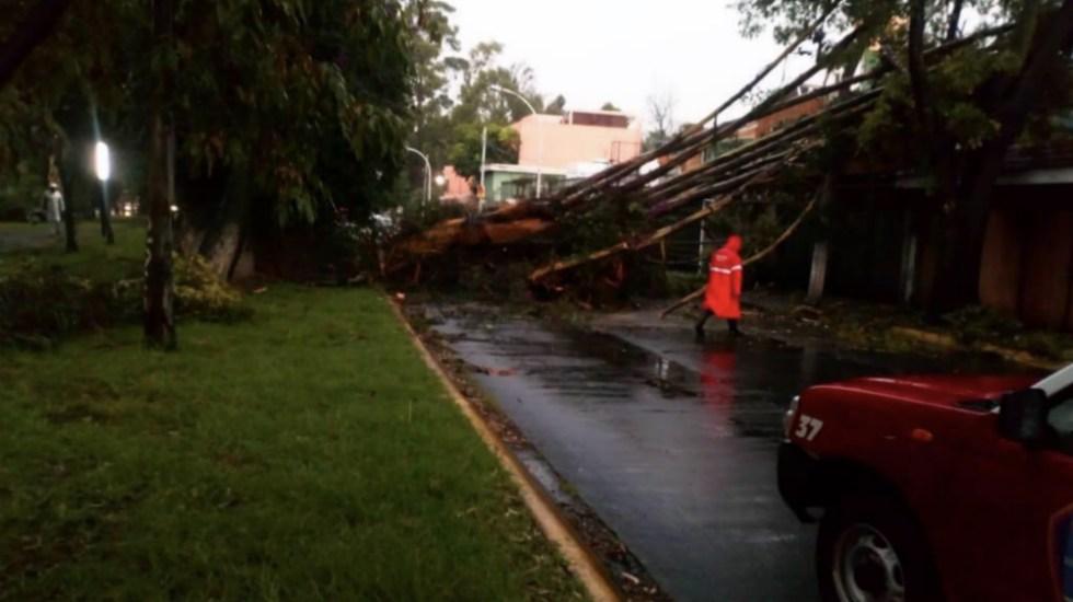 Nueva caída de árbol gigante en el Estado de México - Foto de @cuidanaucalpan
