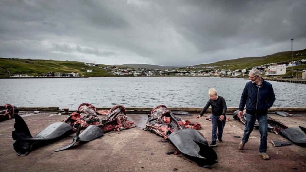 Celebran en Dinamarca tradicional matanza de ballenas - Foto de Reuters