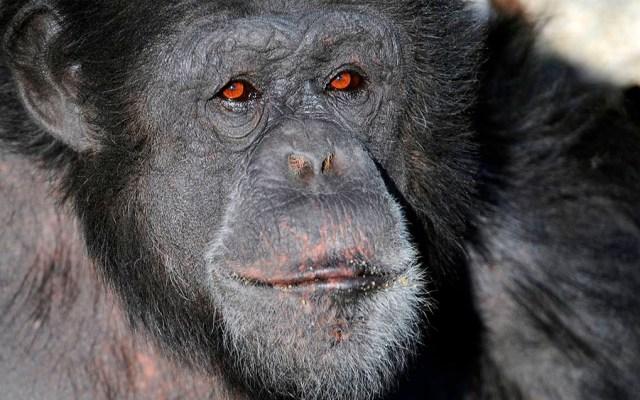 Visitantes encuentran muerto a chimpancé en zoológico de Miami