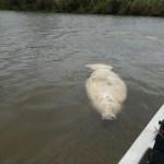 Muerte de manatíes en Tabasco fue por alga tóxica: Profepa - Foto de @DiarioPresente
