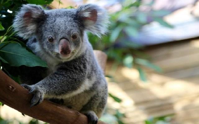 Mueren dos de los tres koalas de un zoológico de Bélgica - Foto de Pairi Daiza