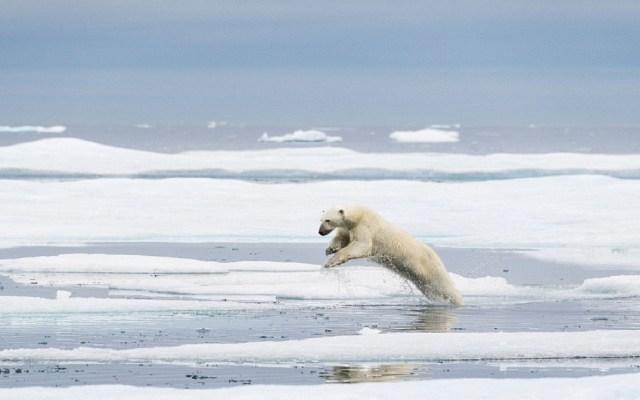 Fotografía de oso polar retrata el posible final de la especie - Foto de Florian Ledoux