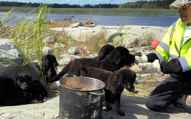 #Video Rescatan a siete cachorros abandonados en isla desierta - Foto de Norway House Animal Rescue