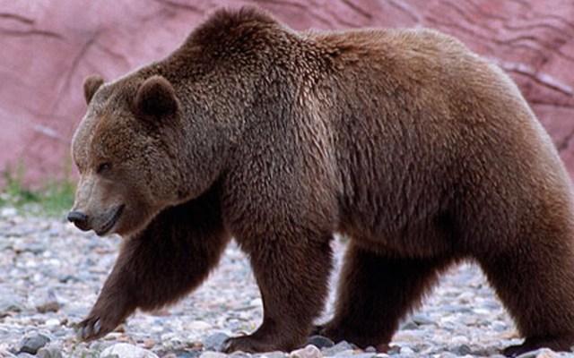 Saliva de osos podría ser benéfica para la salud - Foto de internet
