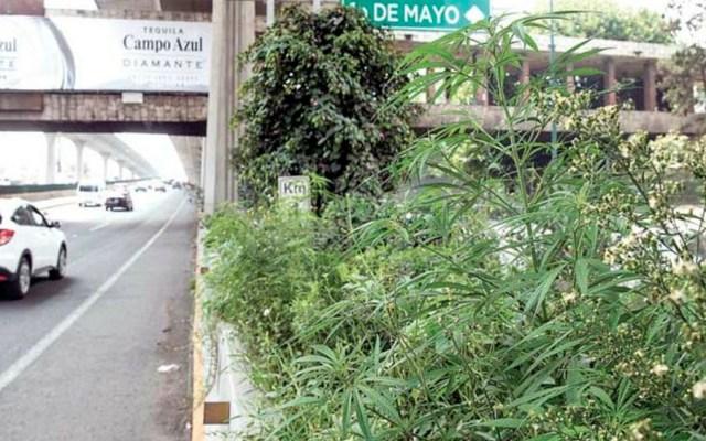 Hallan plantas de mariguana en camellón de Periférico Norte - Foto de Quadratín