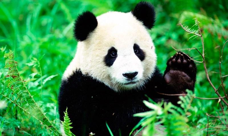 Animales que ya no se encuentran en peligro de extinción - anipedia.net