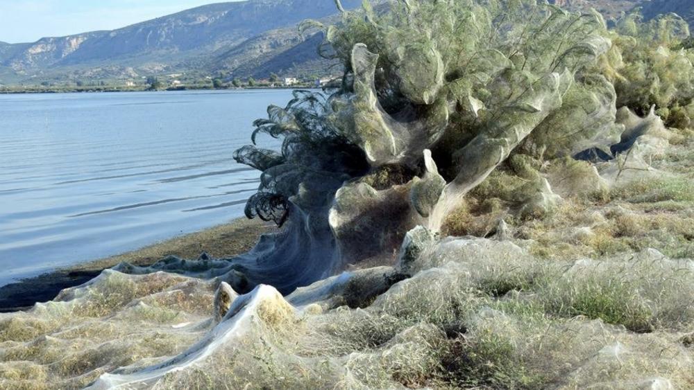 #Video Se forma telaraña gigante en Grecia - Foto de @NatGeoMagArab