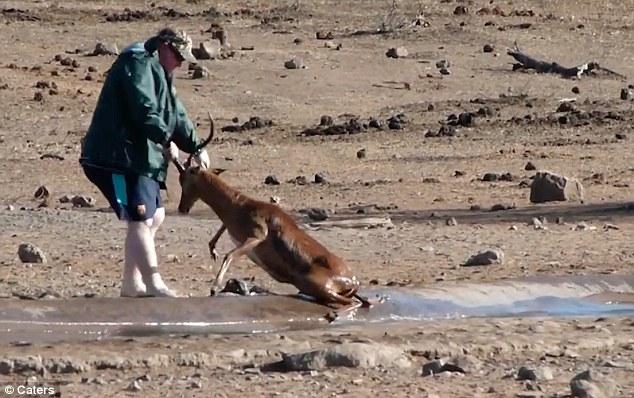 #Video Turista salva del ahogamiento a antílope en Sudáfrica - Foto Captura de Pantalla