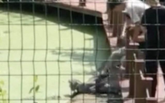 #Video Turista patea a cocodrilo en peligro de extinción en China - Captura de pantalla