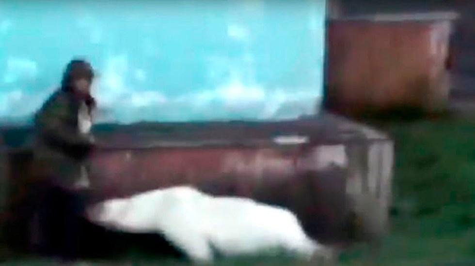 #Video Oso polar acorrala a hombre en Rusia