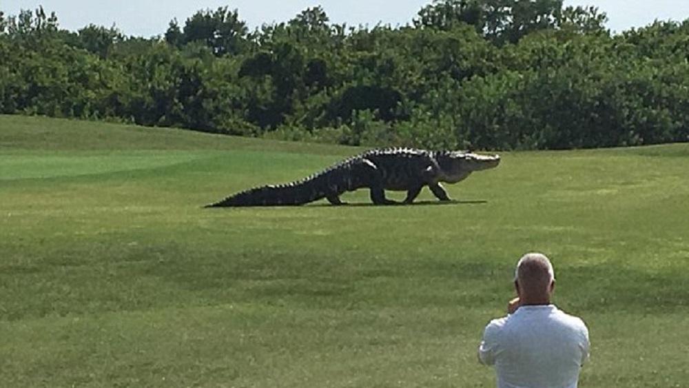 #Video Reaparece el enorme cocodrilo Chubbs en Florida