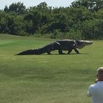 #Video Reaparece el enorme cocodrilo Chubbs en Florida - Avistamiento de Chubbs en 2016. Foto de Charles Helms