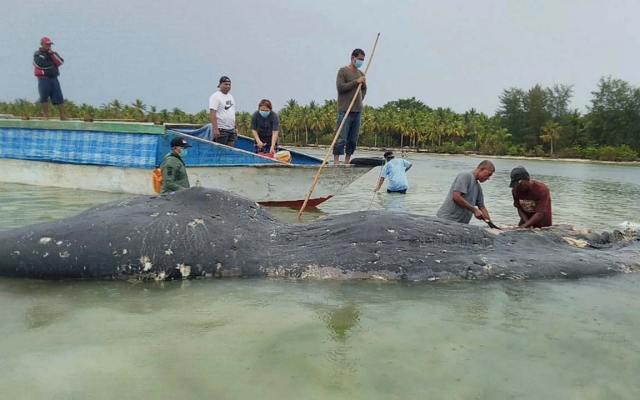 Descubren casi seis kilos de plástico en ballena muerta en Indonesia - Descubren ballena muerta con seis kilos de residuos plásticos indonesia