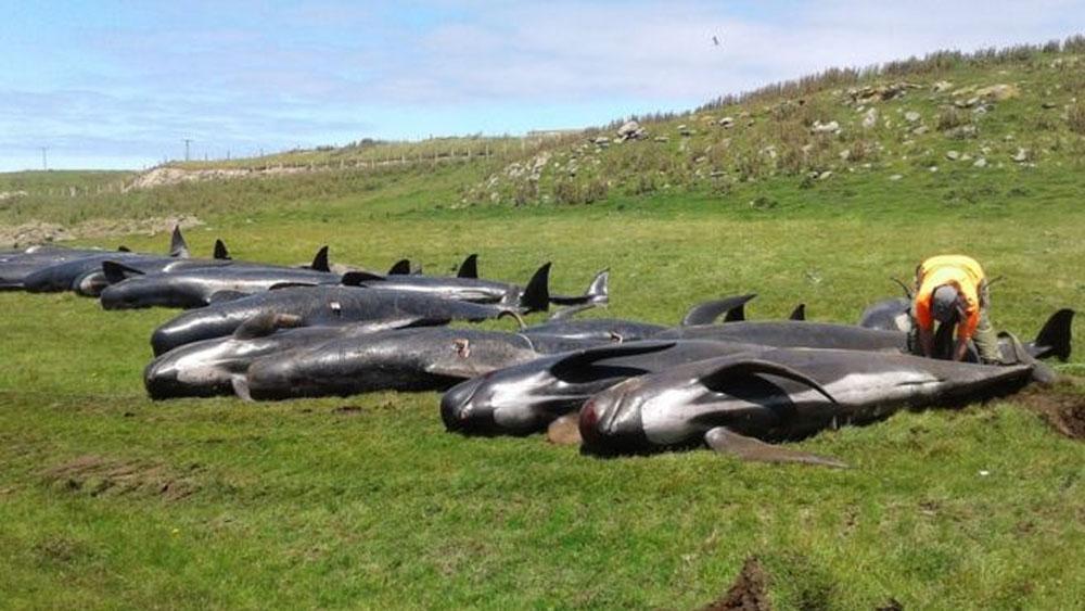 #Video Mueren 51 ballenas tras quedar varadas en Nueva Zelanda - Foto de DOC