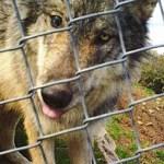 Lobo mexicano escapa de centro de vida silvestre en Colorado - Foto de Centro de Vida Silvestre y Lobos de Colorado