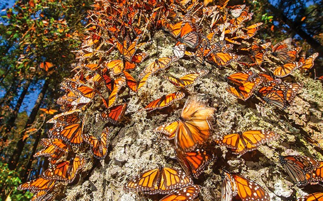 Listos para arribo de mariposa monarca a Michoacán - Foto de Internet