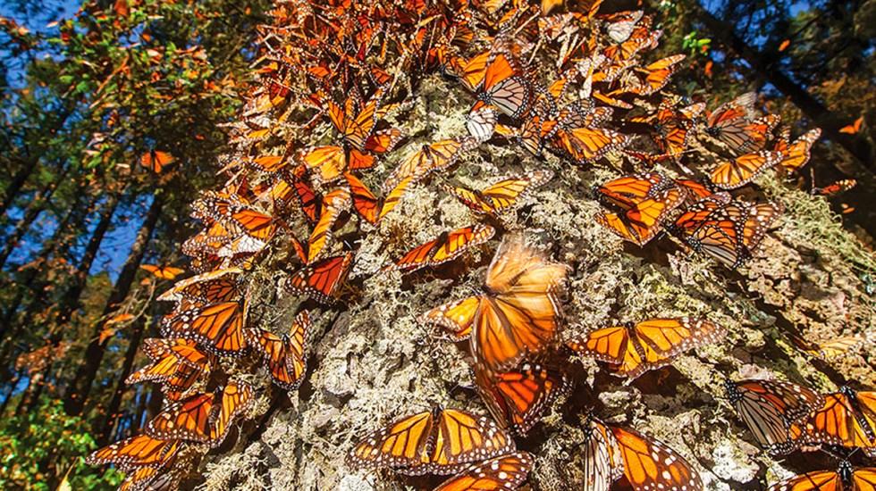 Resultado de imagen para mariposas michoacan