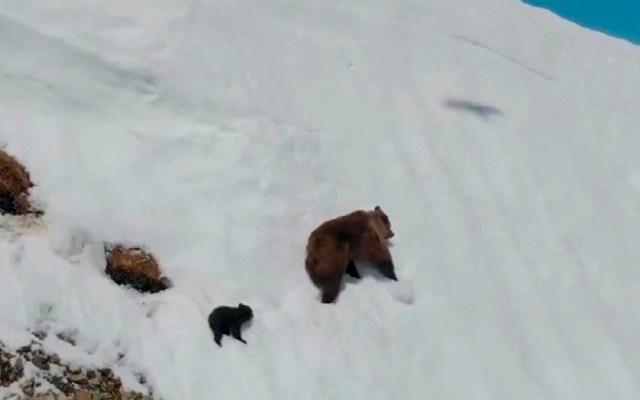 #Video La verdad detrás del osezno llegando a cima de montaña - Momento en que la osa y osezno comienzan a huir de dron. Foto de @DrBioblogo